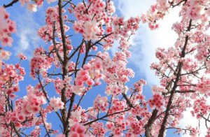 cherry-blossom-flower-photo_01